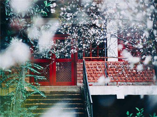 """春色烂漫何处去 云阳红叶李盛开似""""雪景"""""""