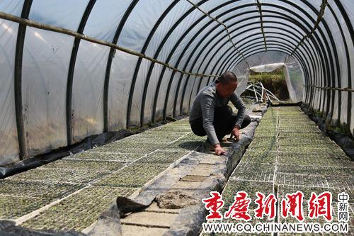谢志华正在检查大棚里所育烤烟苗的长势。汪登平 摄