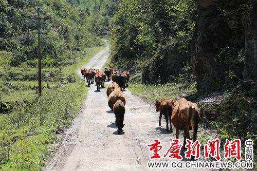 走在山路上的牛群。汪登平 摄