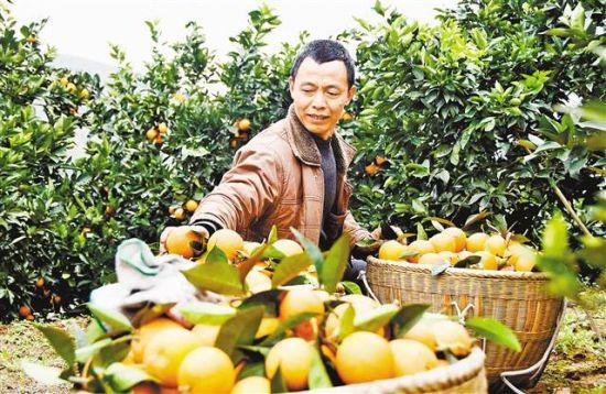 2016年1月11日,巫山县曲尺乡朝阳村一社果农王德春在采摘柑橘。地处三峡库区腹地的巫山县曲尺乡,石漠化现象非常严重。近年来,他们在石漠化土地上发展柑橘和脆李等水果近两万亩,不仅使石漠化得到了治理,还增加了农民收入。 通讯员 王忠虎 摄