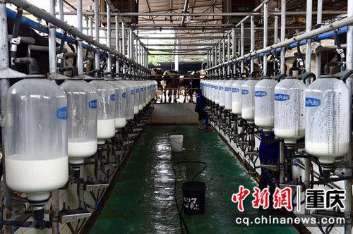 图为经过电力升级改造后,养殖场的工人用上了自动化挤奶设备,保证牛奶全程无菌。 周毅 摄