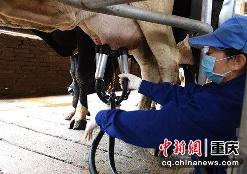 图为养殖场的工作人员正在给奶牛装自动化挤奶设备。 周毅 摄
