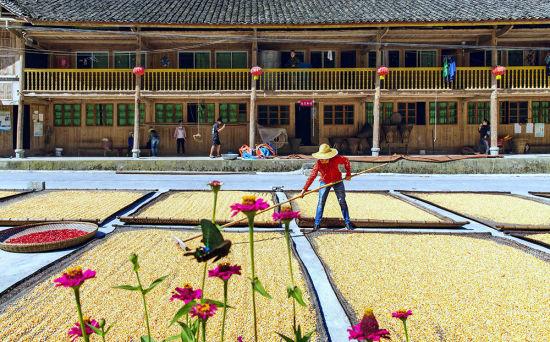 九月十一日,丰都县都督乡塔水村,村民在院坝晾晒农作物。金秋时节,农民忙着收获和晾晒谷物,农家院坝处处是丰收景象。通讯员 林登周 摄