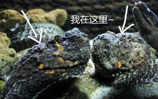 重庆汉海海洋公园供图 图为石头鱼