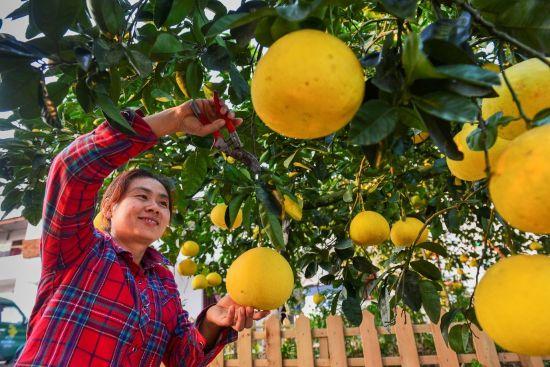 中国重庆首届柚博会将在梁平区举行 甜蜜梁平柚等你来品尝