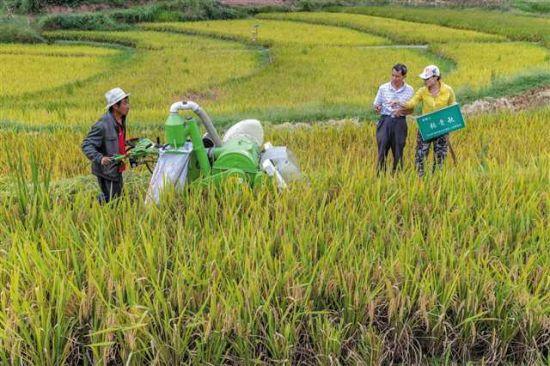 """南川区福寿镇大石坝村村民在客户的监督下收割""""定制水稻"""""""