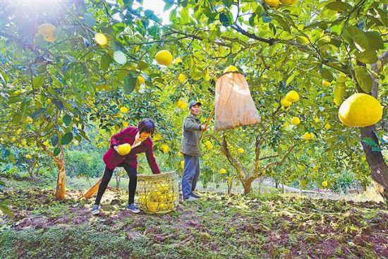 梁平柚产业壮大的三大秘诀