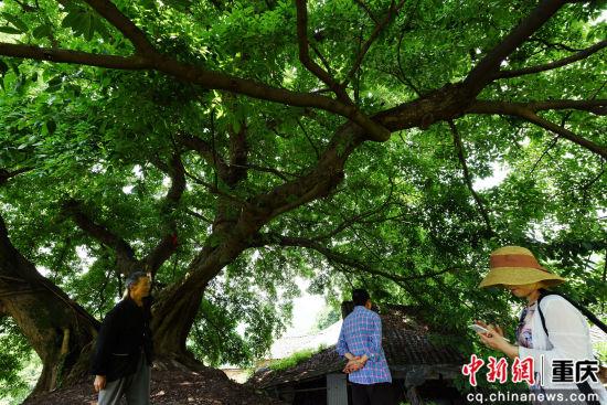 800年黄葛树(摄于真人网上赌钱巴南)
