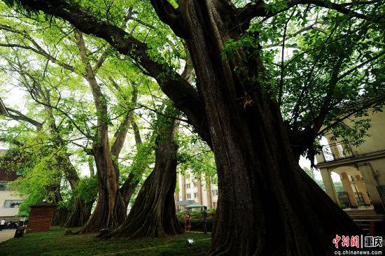 5棵500年黄葛树一字排立难得一见