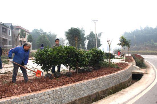 图为安溪镇谭洪村村民正在房前培植花草