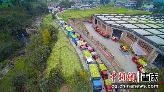 涪陵榨菜产量大增,运输车辆排成长龙。