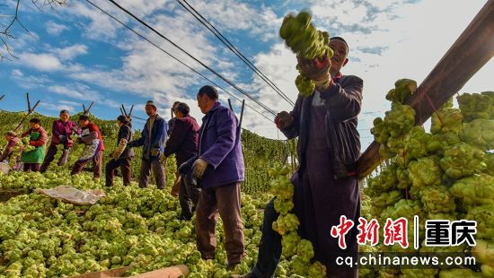 绿色产业菜农青睐,脱贫致富,门路大开。