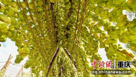 涪陵榨菜覆盖全区72万亩,成为当地支柱产业。