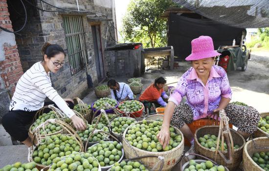巫山县曲尺乡柑园村村民在挑拣脆李(2018年6月26日摄)。 王全超 摄