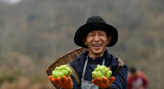"""从菜疙瘩到""""金元宝"""" 酉阳苍岭镇大力发展榨菜产业助推脱贫攻坚"""