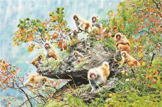 小三峡猕猴。