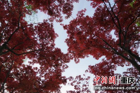 天气晴朗,枫叶似火