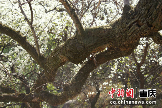 巫山县曲尺乡自然形成的树桥陈朝君 摄