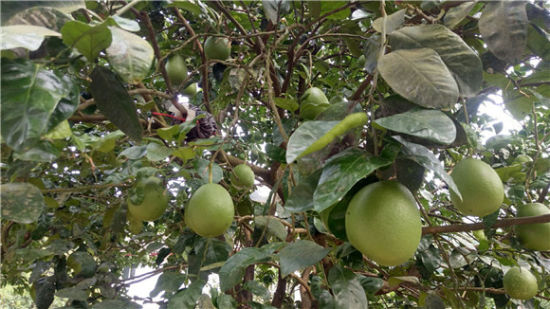 麻柳村红心柚种植基地。通讯员 李达元 摄