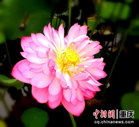 银莲花语 步步莲花