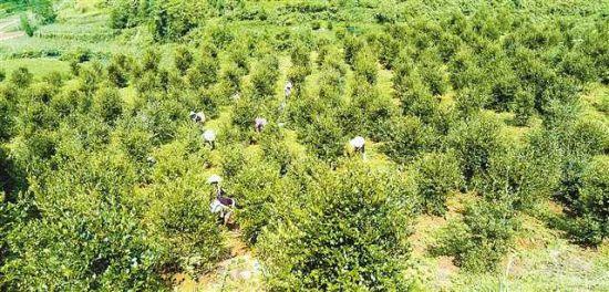 漫山遍野的油茶树将带动村民脱贫。(酉阳县委宣传部供图)