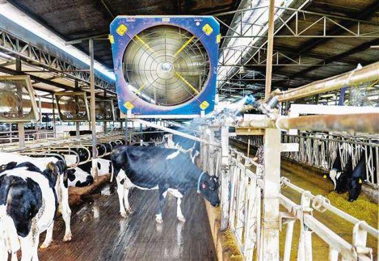 合川区太和镇天合牧场,智能喷头正在给食草的奶牛喷淋降温。记者 万难摄
