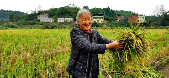 村民收割再生稻。 赵武强 摄