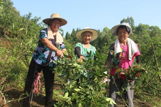 高樓鎮村民采收荒地種出的優質花椒。 趙武強 攝