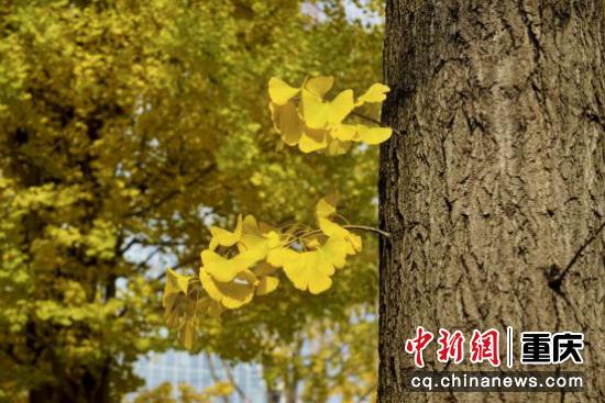 阳光洒过金黄的树叶,美丽的树梢,如同一串串金色的风铃摇曳生姿,让整个冬天都变得温暖了起来。