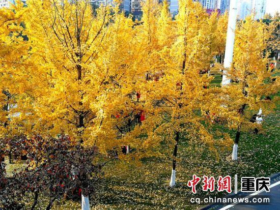 绵绵金叶不染尘埃,赐予这寒冬一丝丝金色的温存,把最后的绚烂献给人们。