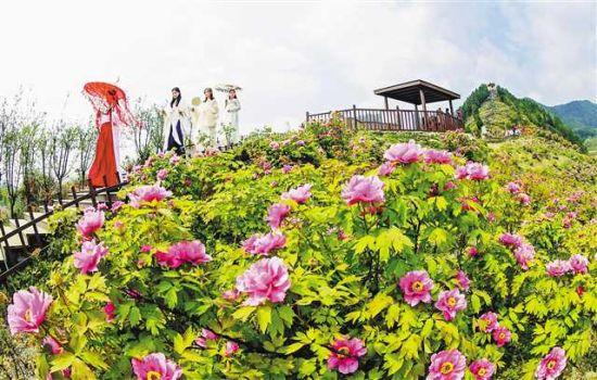 三月二十三日,在垫江恺之峰旅游区,满山遍野的牡丹花进入盛花期。通讯员 向晓秋 摄