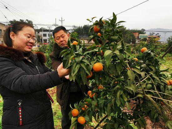 贫困户种植得柑橘获得丰收。赵武强 摄