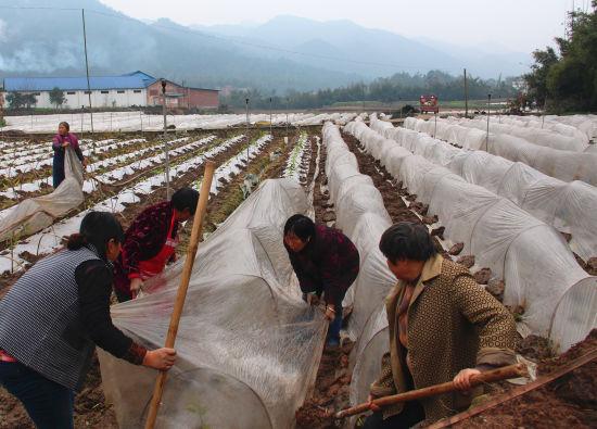 贫困户在蔬菜基地务工增收。赵武强 摄