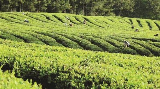 重庆万州春茶产量预计突破700吨 茶叶基地全面迎来春茶采摘期