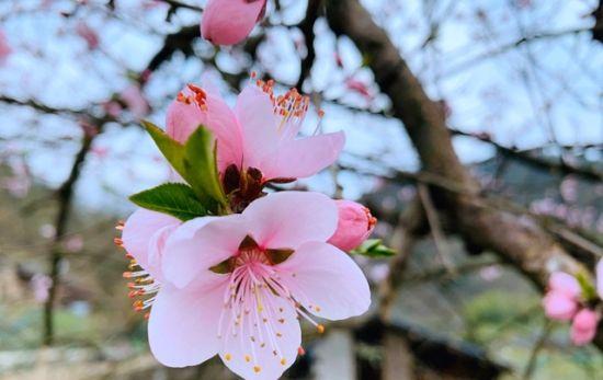 俏丽的花朵点缀在枝头。通讯员 邓庭庭 摄
