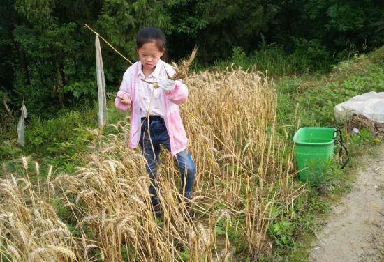 图为学生在收割小麦。吴海燕 摄
