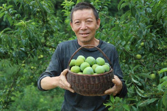 《【恒耀主管】巫溪:种植户带领全村致富 打造脆李产业名片》