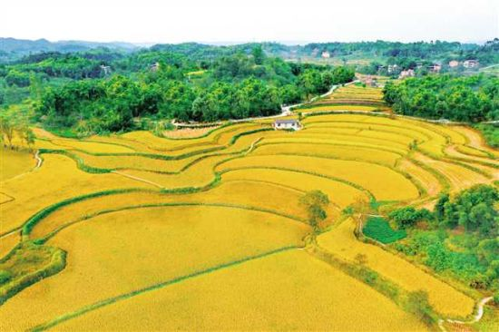 金灿灿的稻田