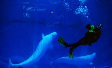 重慶引入的首對白鯨。吳琦 攝