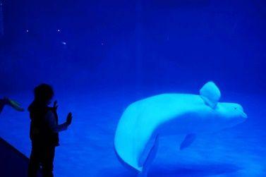 融創海世界白鯨成了新晉網紅。吳琦 攝