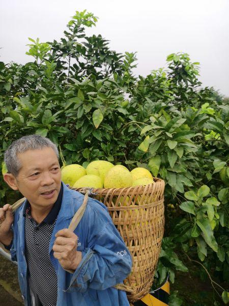 图为村民罗绍文在柚子园。摄影 刘贤
