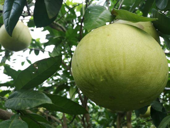 图为石翔村的柚子。摄影 刘贤