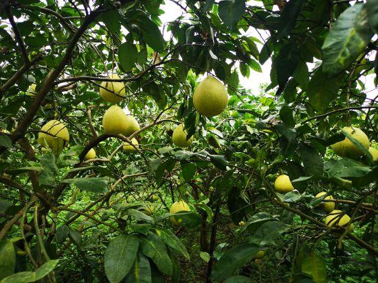 图为石翔村的柚子园。摄影 刘贤