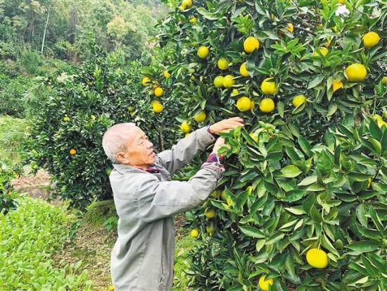 10月13日,竹坪村村民李本寸在给自家的柑橘树修枝整形。 记者 栗园园 摄/视觉重庆
