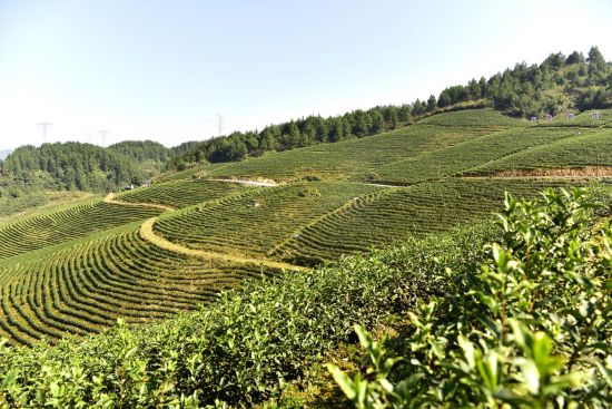 2017年7月,保家镇引进浙江安吉白茶,在清平社区、大堂村、溪口村率先试点,带动当地少数民族居民脱贫致富。图为保家镇千亩白茶基地。罗永皓 摄