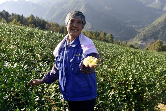 图为当地少数民族居民采摘茶花。罗永皓 摄