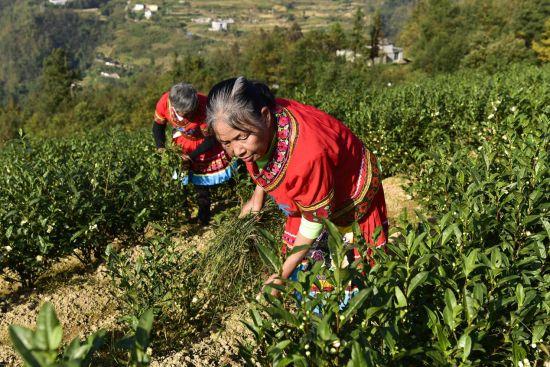 图为保家镇少数民族居民在白茶基地除草。罗永皓 摄
