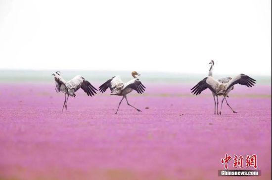秋季鄱阳湖湿地正值蓼花盛开季节,候鸟在花草中觅食、起舞,构成一幅美丽的画卷。 袁文辉 摄
