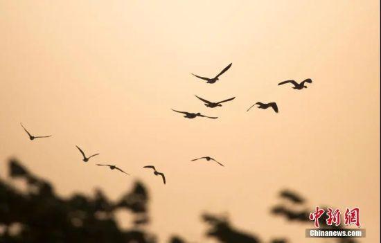 大批冬候鸟飞抵鄱阳湖。傅建斌 摄