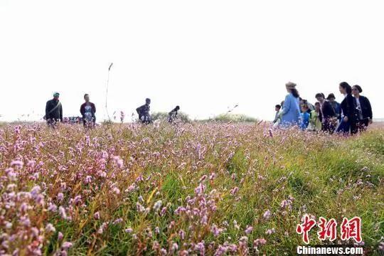 受秋季枯水期影响,鄱阳湖水位下降,大面积湿地、滩涂裸露,粉红色的蓼子花与滩涂上的白色芦花连成一片,蔚为壮观。姜涛 摄